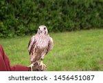 Falcon Bird Standing On A Huma...