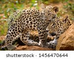Leopard Mom And Her Cub