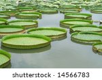 Majestic water lily pads - stock photo