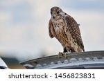 Hunting Falcon Portrait.huntin...