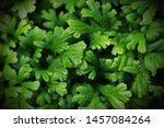green leaves background  fresh... | Shutterstock . vector #1457084264