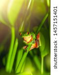 Red Eyed Frog Sitting On The...