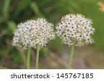 Small photo of Flowering Leek (Allium nigrum) in a garden
