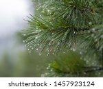 Raindrops On The Coniferous...