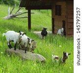 Goat On Green Grass