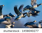 A flock of barnacle geese in...