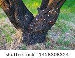 Armillaria. Root Caries Diseas...