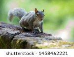 Fox Squirrel In A Back Yard...