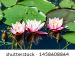 Three Flowers Of Water Lily