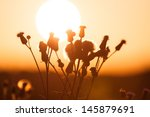 Field of grass during summer sunset - against sun - stock photo