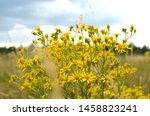 Small photo of Common groundsel (old-man-in-the-spring, senecio vulgaris): A yellow wild flower plant, toxic, poisonous, harmful and noxious weed hepatotoxic to livestock and humans