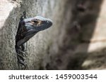 iguana looking from a hole of a ... | Shutterstock . vector #1459003544
