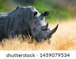 White Rhinoceros Bull Portrait...