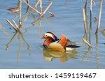 A Mandarin Duck Swimming In Th...