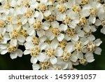 Achillea Millefolium Plant...