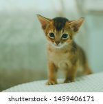 Stock photo abyssinian cat portrait of one domestic of abyssinian kitty breed with yellow eyes and red short 1459406171