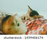Stock photo abyssinian cat portrait of one domestic of abyssinian kitty breed with yellow eyes and red short 1459406174