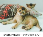 Stock photo abyssinian cat portrait of one domestic of abyssinian kitty breed with yellow eyes and red short 1459406177