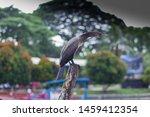 Indian Cormorant Birds Or...