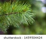 Raindrops On Coniferous...