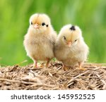 Pair Of Cute Babies Chicken On...