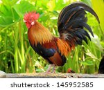 beautiful rooster on nature... | Shutterstock . vector #145952585