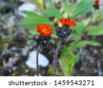 Showy and bright orange hawkweed flowers close up. Other name, Pilosella aurantiaca is a perennial flowering plant in the daisy family. It is invasive in areas of British Columbia, Canada.