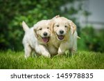 Two Running Puppy Of Golden...