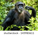 A Chimpanzee Eating A Leaf In ...