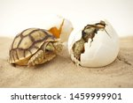 Stock photo africa spurred tortoise are born naturally tortoise hatching from egg cute portrait of baby 1459999901