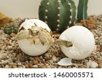 Stock photo africa spurred tortoise are born naturally tortoise hatching from egg cute portrait of baby 1460005571