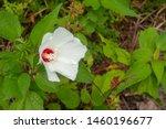 Rose Mallow  Swamp Hibiscus...