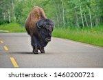 Wild Prairie Bison On Roadway