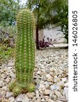Small photo of Argentina garden hybrid cactus of Trichocereus Grandiflorus with three offsprings