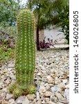 Small photo of Argentina garden hybrid cactus of Trichocereus Grandiflorus with three offsprings
