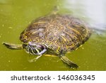 Terrapin Swimming In Green Water