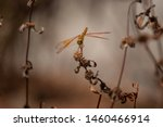 Stock photo closeup of a golden coloured dragonfly on a death plants beautiful golden coloured dragonfly 1460466914