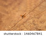 Stock photo closeup of a common dragonfly on a vary small plants stem beautiful dragonfly on a plants stem 1460467841