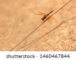 Stock photo closeup of a common dragonfly on a vary small plants stem beautiful dragonfly on a plants stem 1460467844