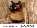 Blue Eyed Siamese Cat Laying I...