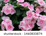 Gorgeous Pink Flowers With...