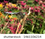 Multicolored Dragonfly On Lily...