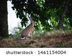 Stock photo hare on field in sunshine 1461154004