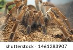 Tarantula On Spider Day At The...