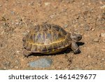Stock photo a wild tortoise roaming freely in central turkey spur thighed tortoise testudo graeca in the 1461429677