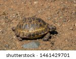 Stock photo a wild tortoise roaming freely in central turkey spur thighed tortoise testudo graeca in the 1461429701