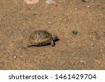 Stock photo a wild tortoise roaming freely in central turkey spur thighed tortoise testudo graeca in the 1461429704