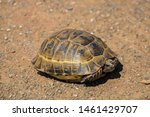 Stock photo a wild tortoise roaming freely in central turkey spur thighed tortoise testudo graeca in the 1461429707