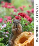 Closeup Of A Fox Squirrel With...
