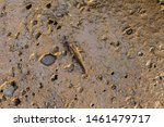 Mudskipper Living On Mudflats...